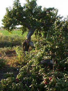 cracked nectarine tree