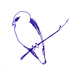 White-tailed Kite, pen and ink