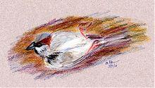 House sparrow, pastels on Prismacolor
