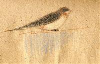 Barn swallow, prismacolor