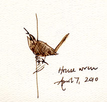House wren, pen and wash