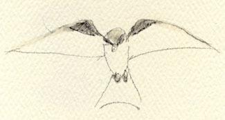 White-tailed Kite hovering, watersoluble graphite