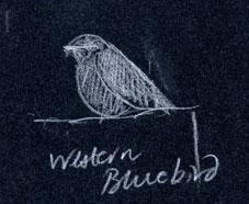Western bluebird, prismacolor
