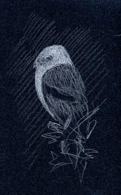 White-tailed Kite, prismacolor