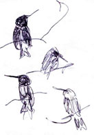Black-chinned hummingbird, balllpoint pen
