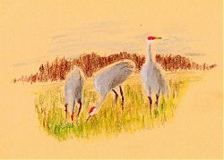 Sandhill Cranes, Lodi