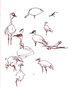 Sandhill crane sketches, pen and ink