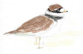 common ringed plover, watercolor