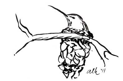 Anna's hummingbird on nest atop pinecoe