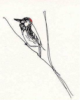 Acorn woodpecker in Arboretum, pen and ink