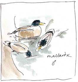 Mallard hybrids,pen and wash