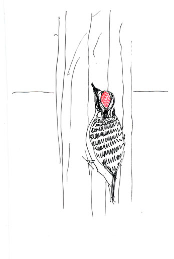 nuttall's woodpecker, male, pen and ink
