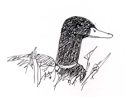 Mallard: pen and ink