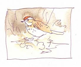 ovenbird, pen and wash