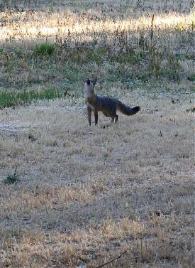 Gray fox barking