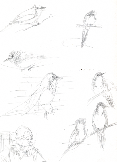 Western Scrub-jay, graphite, and luke
