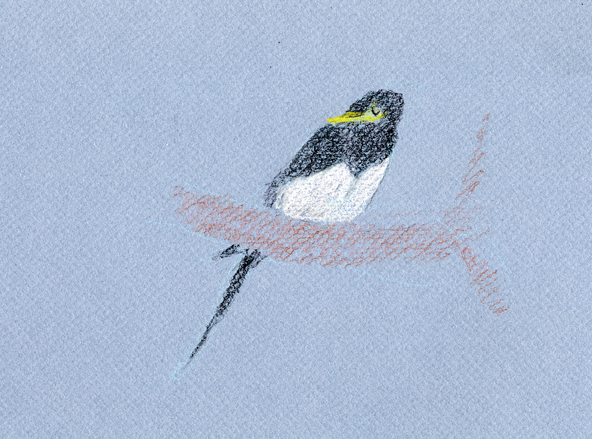 Yellow -billed magpie, Derwent colorsoft