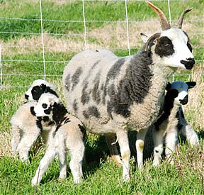 Summer, a Jacob ewe with her 2012 triplets