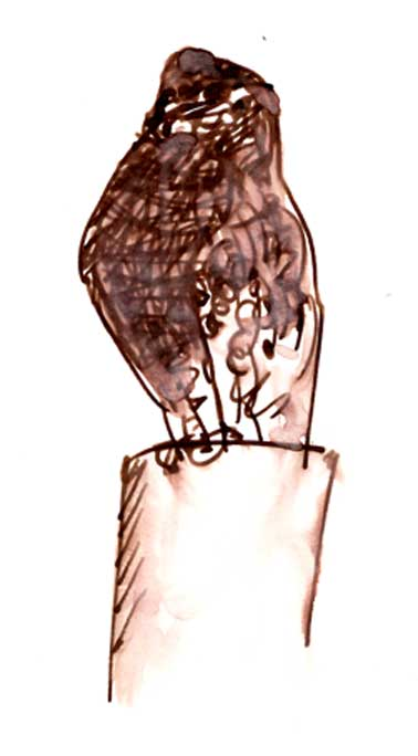 red-shouldered hawk, pen and ink