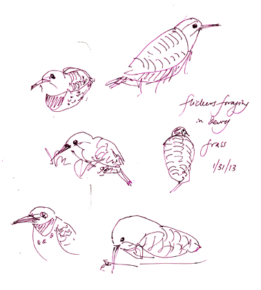 Northern flicker, pen andink
