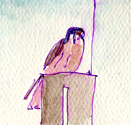 American kestrel, pen and wash