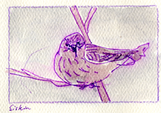Pine siskin, pen and wash