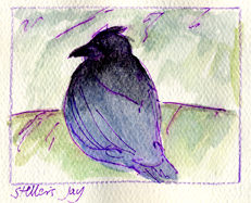 Steller's jay, pen and wash