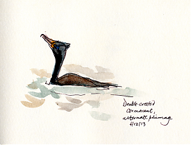 Double-crested cormorant, pen and wash