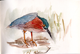 Green heron, pen and wash