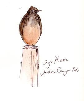 Say's phoebe, pen and wash