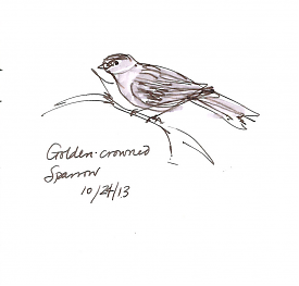 Golden-crowned sparrow, pen and wash