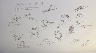 House sparrows on a warm morning, pen and ink