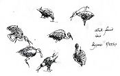 White-faced ibis: pen and ink