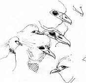 Crested screamer -- pen and ink