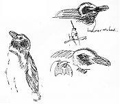 Magellanic penguin -- pen and ink
