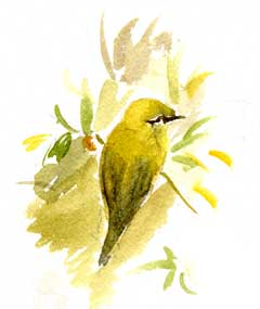 Orange=crowned warbler, watercolor