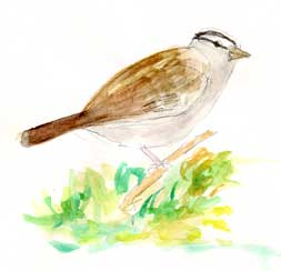 White-crowned sparrow: watercolor