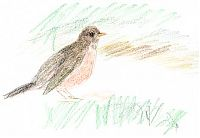 American robin, colored pencil on sketch paper