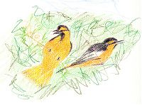 Bullock's oriole in mulberry, prismacolor on canson mi-teintes