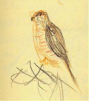Yard Cooper's Hawk