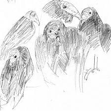 Turkey vultures, Raptor Center, graphite