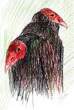 Turkey vultures, Raptor Center, Derwent Colorsoft