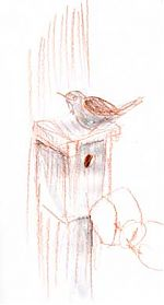House wren, prismacolor and water-soluble graphite