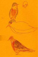American robin prismacolor