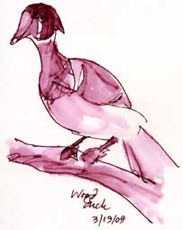 Wood duck male, pen and ink