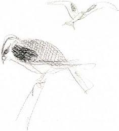 white-tailed kite: prismacolor