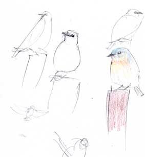 Western bluebird, derwent coloursoft